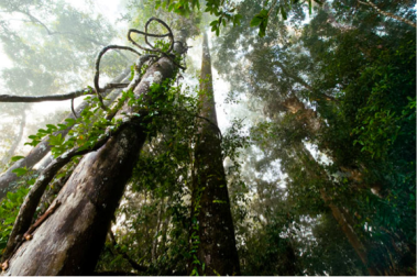 Lianas ascending to the canopy in Kalimantan's tropical rainforest Photo: Mattias Klum, National Geographic [ link: http://ngm.nationalgeographic.com/geopedia/Borneo ]