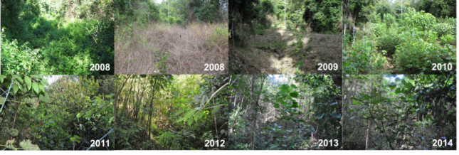 Assisted natural regeneration of degraded complex notophyll vine forest - RE 12.8.3, BVG1M: 2a [photography courtesy of The City of Gold Coast]