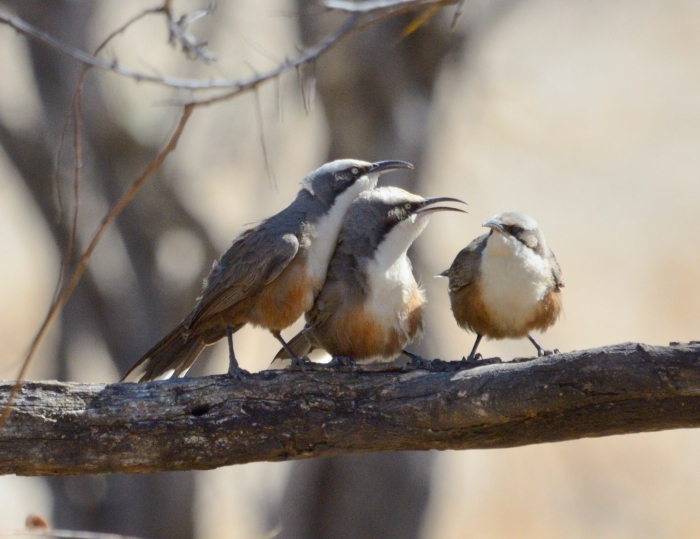 grey crowned babblers